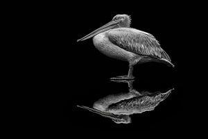 spiegelende pelikaan van