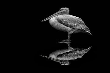 spiegelende pelikaan van Jiske Wijmans @Artistieke Fotografie