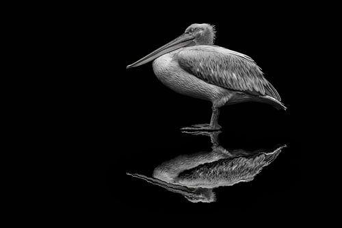 spiegelende pelikaan von Jiske Wijmans @Artistieke Fotografie