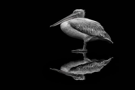 spiegelende pelikaan