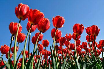 Rode tulpen von Jeannette Penris