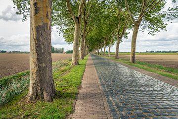 Hohe Platanen entlang einer Straße mit glänzenden Kopfsteinen von Ruud Morijn