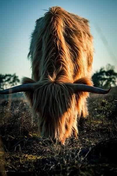 Schotse hooglander grazend in de avondzon van Natasja Bittner