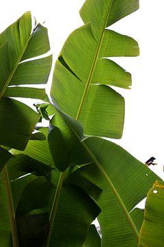 palmblad van Lara De hornois