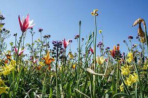Tulpen langs de weg. Voorjaar, lente in Ridderkerk van Wessel Dekker