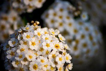 Witte Bloemen sur Anthony Trabano