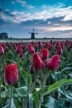 De koude tulpen van Albert Lamme