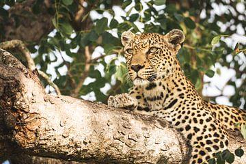 Jong luipaard starend op een tak in een boom van Simone Janssen