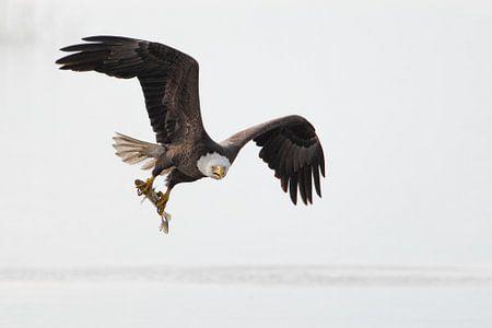 Amerikaanse zeearend vliegend met vis