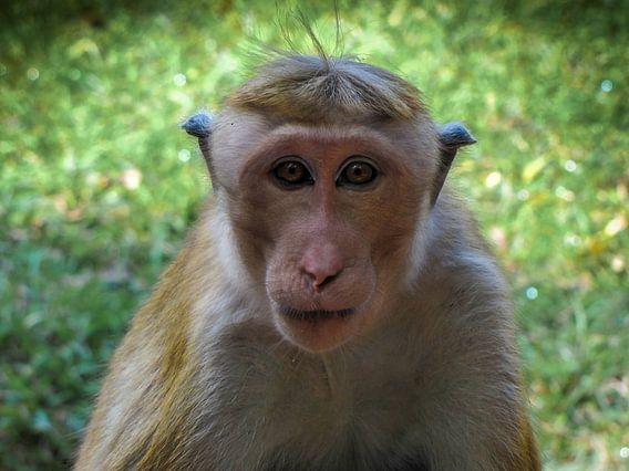 Kijk in mijn ogen, oogcontact met een aap