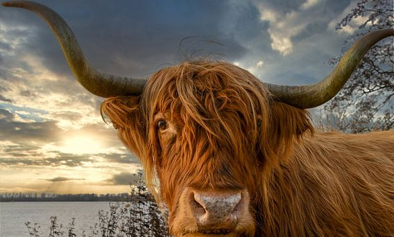 Close-up Schotse Hooglander