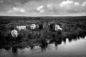 Weidevieh in Irland (s/w) von Bo Scheeringa Photography