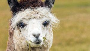 Portret witte alpaca van Hilda Weges