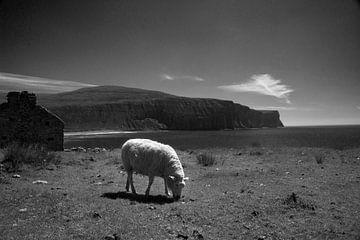 Schafe auf Orkney von Mario van Loon