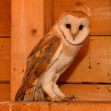Kerkuil ( Tyto alba ) in het dak van een kerktoren, fauna, Europa. van wunderbare Erde