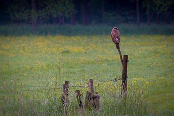 Buizerd op de uitkijk van ton vogels