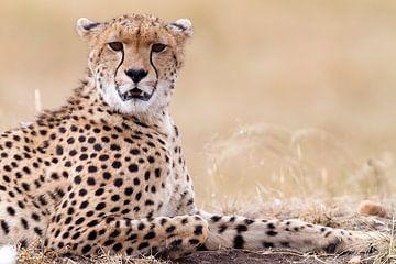 Entspannter Gepard von Angelika Stern