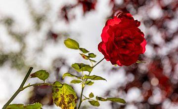 Nahaufnahme rote Rose 2 von Percy's fotografie