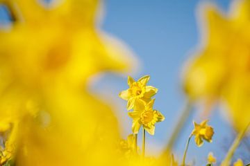 Narzissen in den ersten Sonnenstrahlen, es ist wie Frühling in Almere III | Bunte Frühlingsblumen im von Evelien Lodewijks