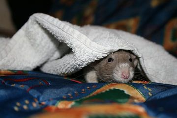 rat onder dekentje van Wolf Stokvis
