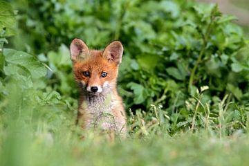 baby red fox von gea strucks