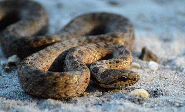 Gladde slang van Veerle de Koning