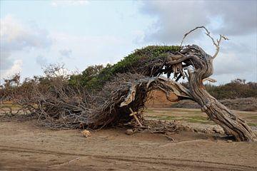 De langste boom op Bonaire. van Silvia Weenink