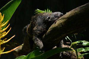 Slapende beermarter in de jungle