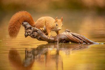 Écureuil à la lueur dorée de l'automne sur Gonnie van de Schans