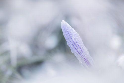 Frozen Krokus