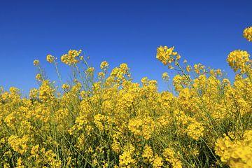 Vrolijke gele lente bloemen en blauwe lucht van Bobsphotography