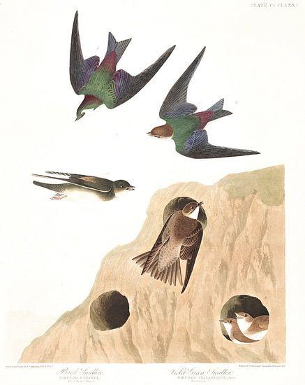 Oeverzwaluw van Birds of America
