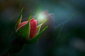 bloem in knop