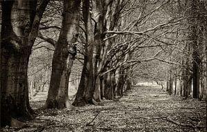 Koninklijke bomenlaan van