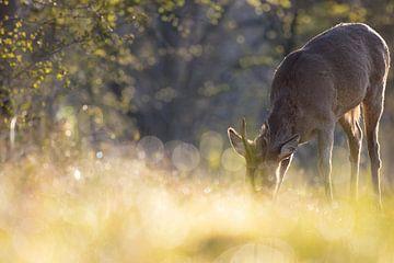 Knabbelend ree met zijn neus in het bedauwde gras van Bas Ronteltap