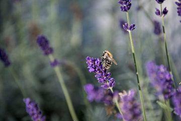 Lavendel met een bezige Bij van Hans Tijssen