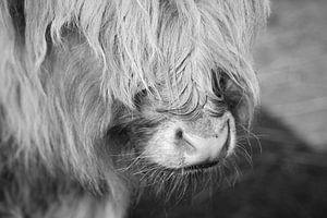 Scottish Highlander schwarz/weiß von Ines Thun