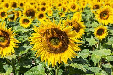 Sonnenblumenfeld von Frank Herrmann