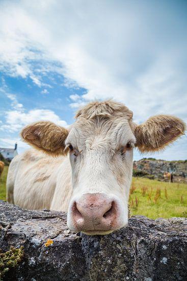 Nieuwsgierige witte koe