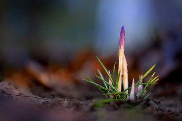Violetter Krokus im Licht von Willian Goedhart