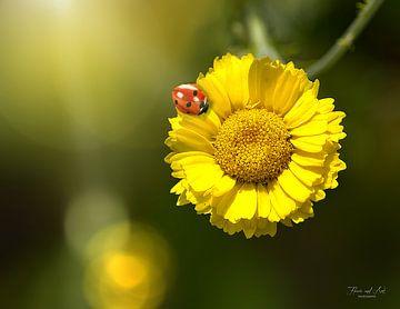 Een lieveheersbeestje op een goudsbloem (Coleostephus myconis)