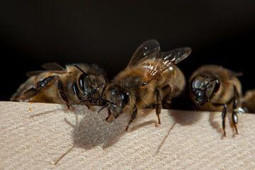 Honingbijen op een plank in de zon. van Joost Adriaanse
