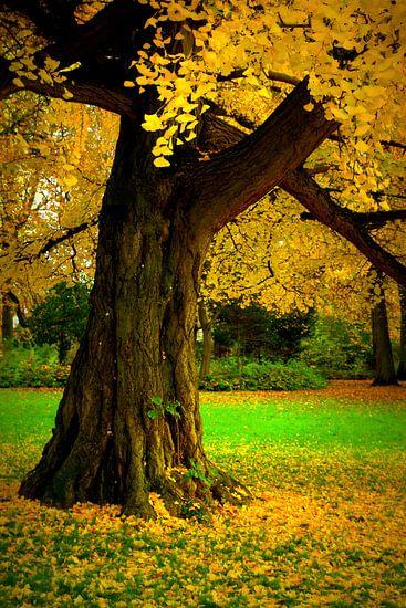 Der alte Ginkgobaum