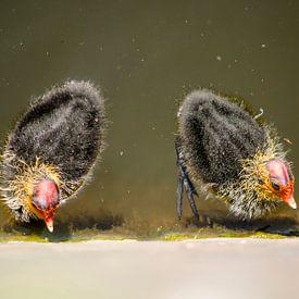 Twee jonge meerkoeten van Frans Blok