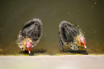 Zwei junge Blässhühner