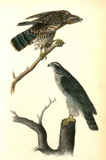 Havik, Goshawk., Audubon, John James, 1785-1851