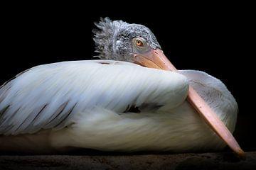 Pelikan mit weichen Federn und rosa Schnabel von Jan van Dasler