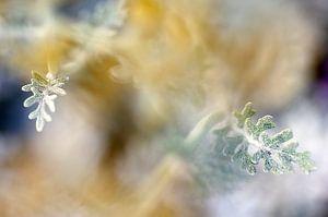 Far away, zilverkruiskruid Macrofotografie