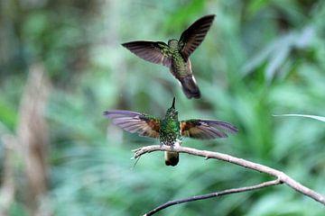 Kolibries sur Antwan Janssen