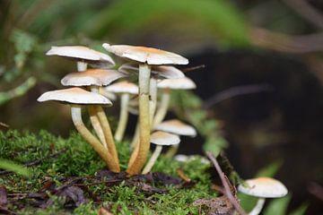 Nahaufnahme von Waldpilzen auf einem Moosstumpf von Robin Verhoef